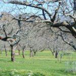 Как да удължим плододаването при старите ябълки