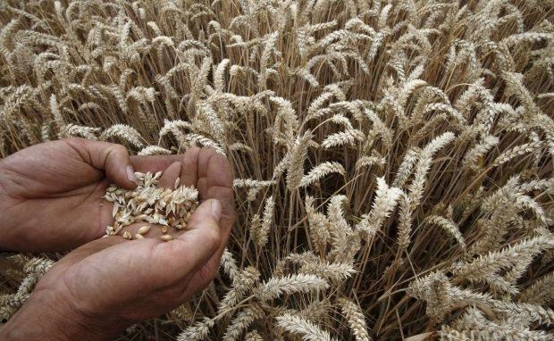 ФАО чака повишаване на производството на зърно