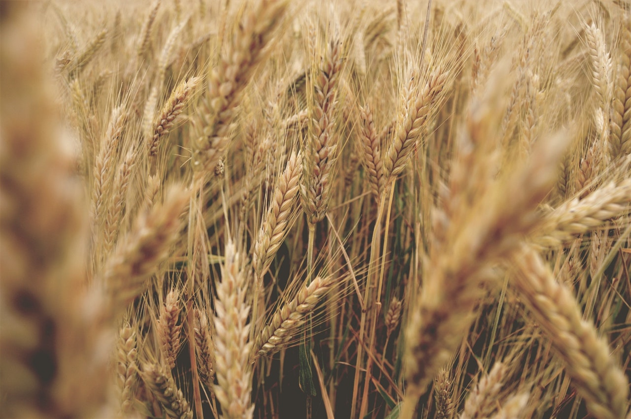 Противно на очакванията, чакаме по-високи добиви от пшеницата
