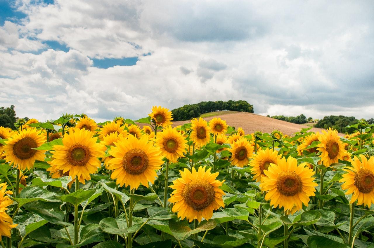 Слънчогледът изплува от спада на изкупните цени