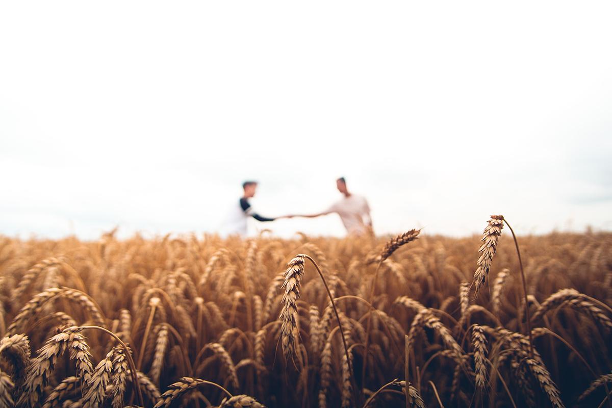 Български сортове пшеница дават отлични добиви – 1 020 кг/декар