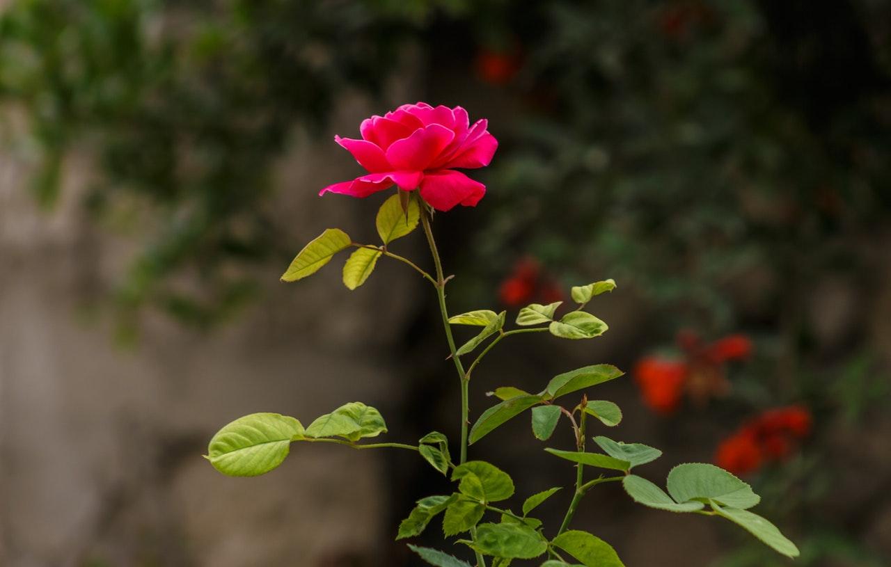 Маслодайната роза влиза в обхвата на подпомагане по програмата за борба с вредителите